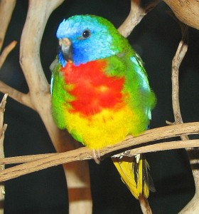 Like most parrots, the Scarlet-Chested Parrot is brightly colored
