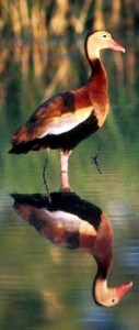 The Whistling Duck is a typical waterfowl