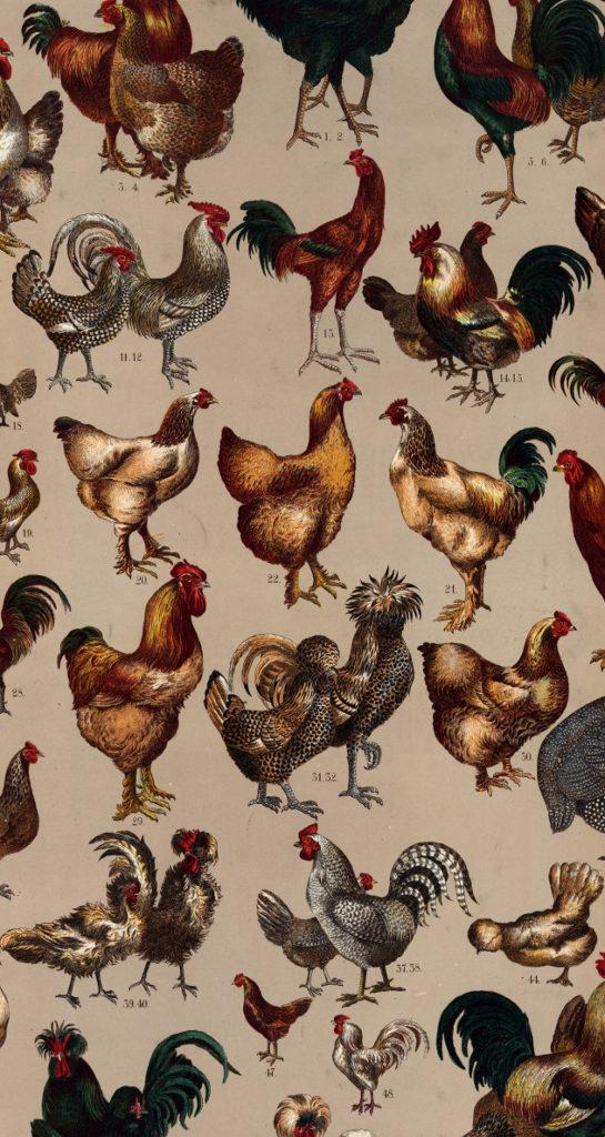 hühnervögel der welt