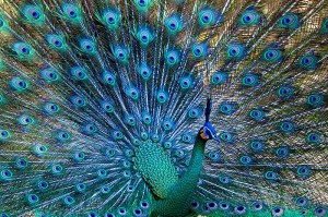 The Green Peafowl - photograph by JJ Harrison